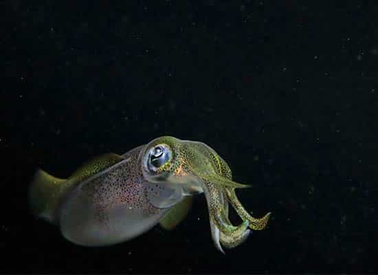 Bigfin-reef-squid 水中攝影