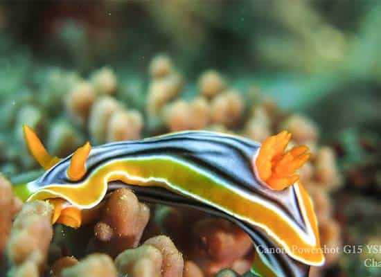 Chromodoris-elisabethina-Bergh 水中攝影